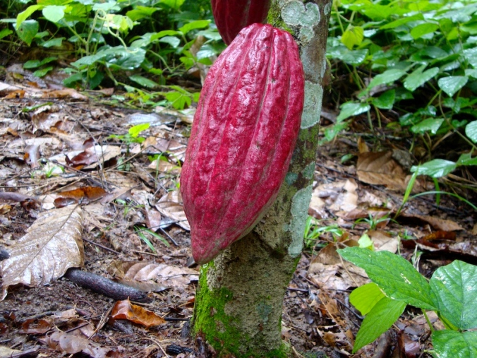 Healthy cacao pod from an IAF farm