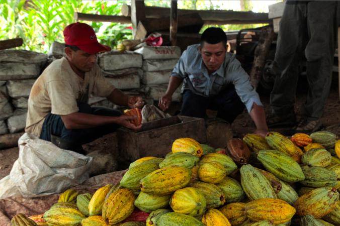 IAF staff harvesting cacao