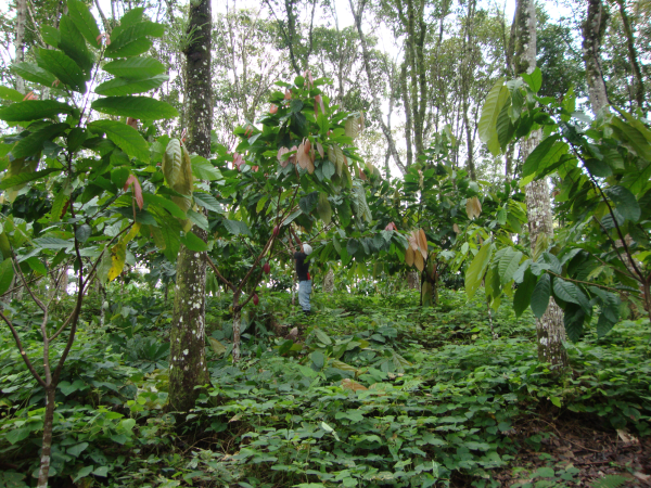 Mahogany and cacao stand
