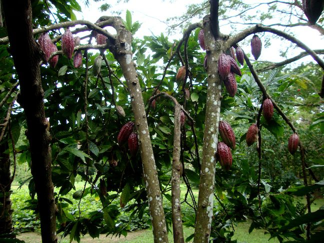 "IAF Cacao Trinitario ""fino"""