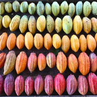Hacienda Rio Dulce cacao varietals