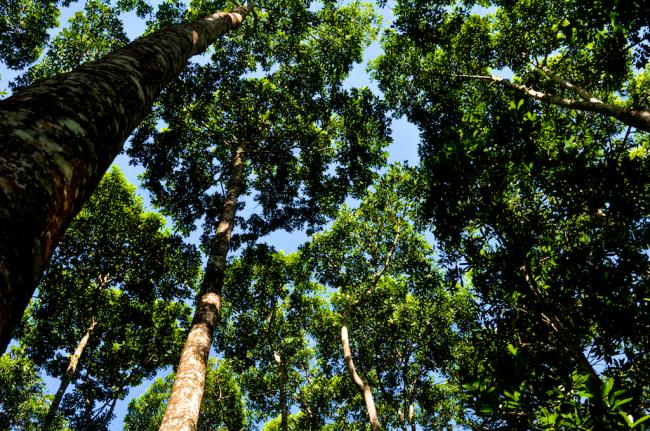 San Juan canopy, Vochysia guatemalensis