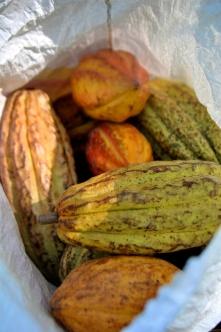 IAF cacao