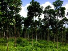 Rio Seja Mahogany grove
