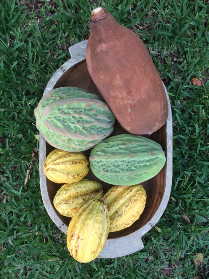 IAF actively manages three types of theobroma; Theobroma cacao, Theobroma bicolor and Theobroma grandiflorum